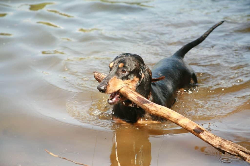 do dachshunds like swimming