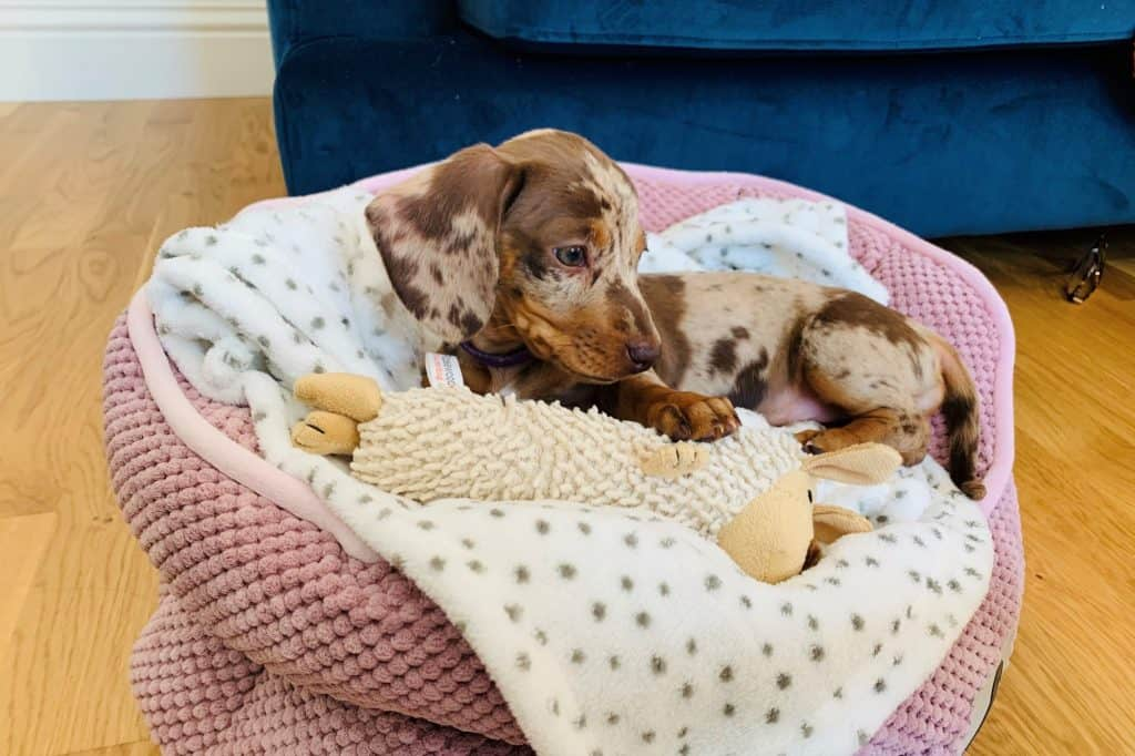 how many puppies do dachshunds have