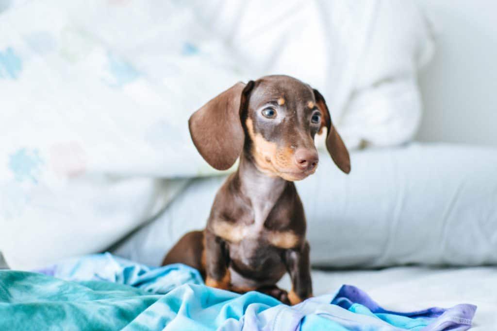 anxious dachshund