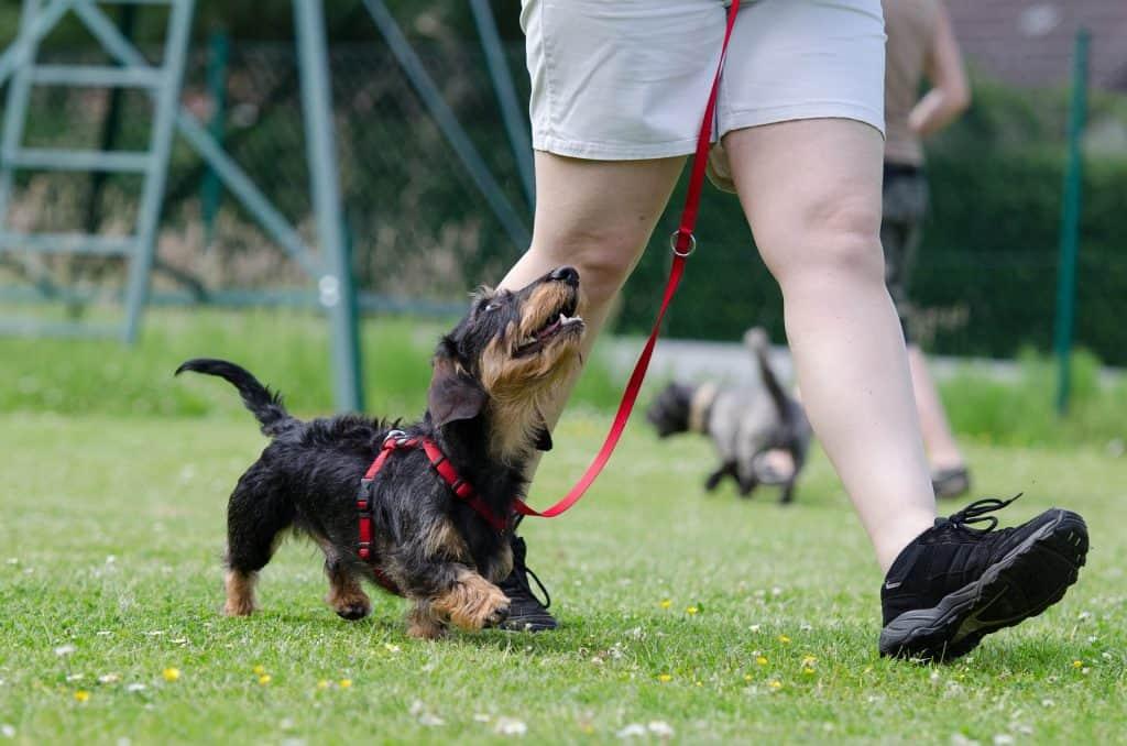 how do dachshunds show love