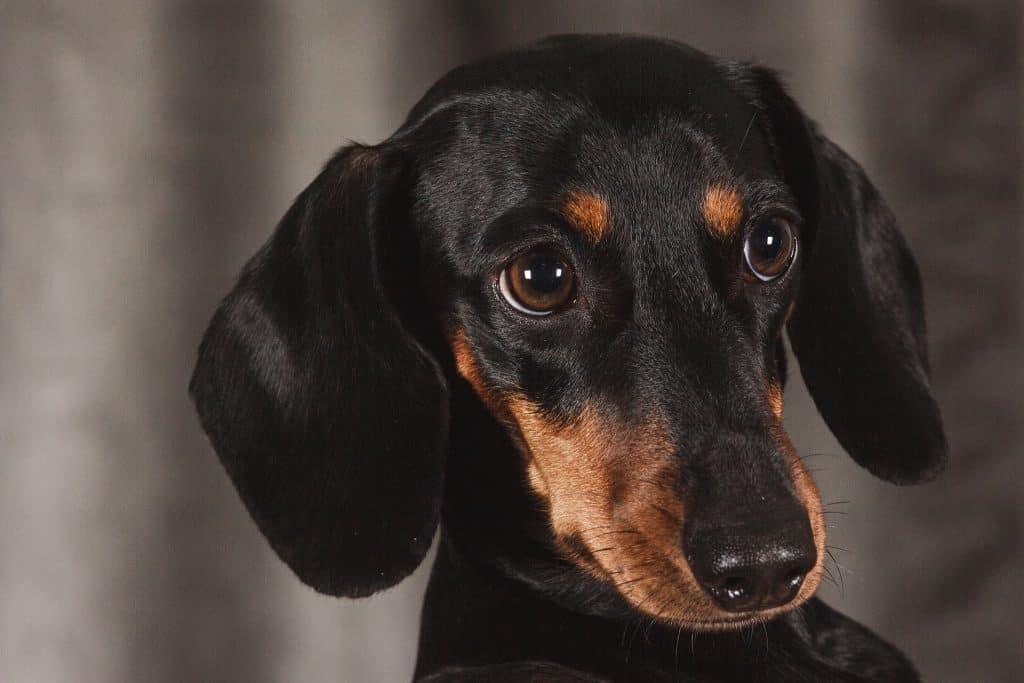 do dachshunds have bad breath