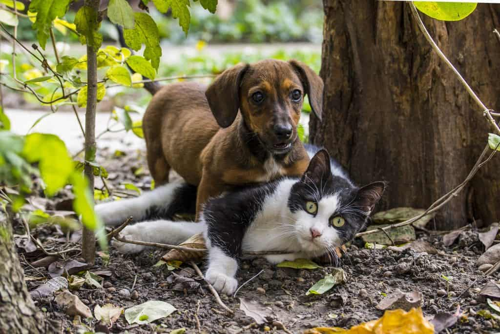 do dachshunds like cats
