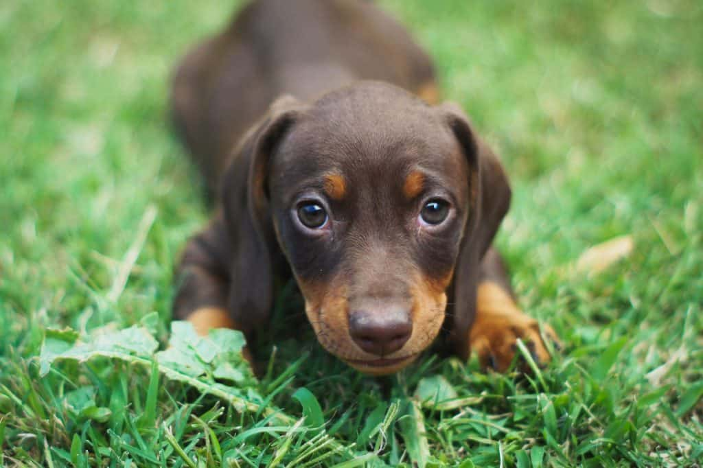 do dachshunds get separation anxiety
