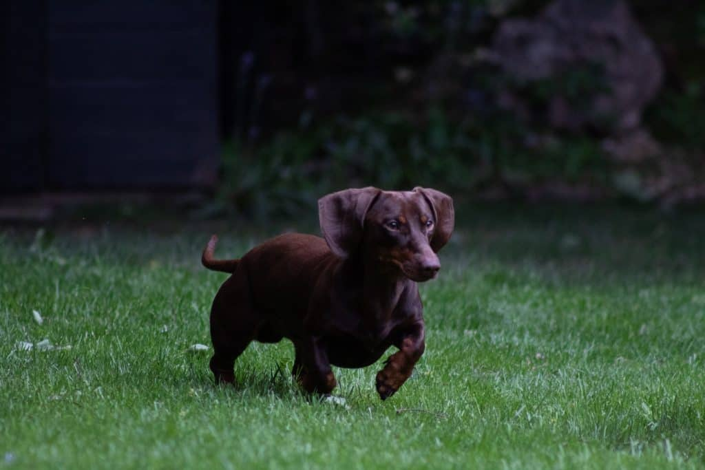 do dachshunds bark a lot