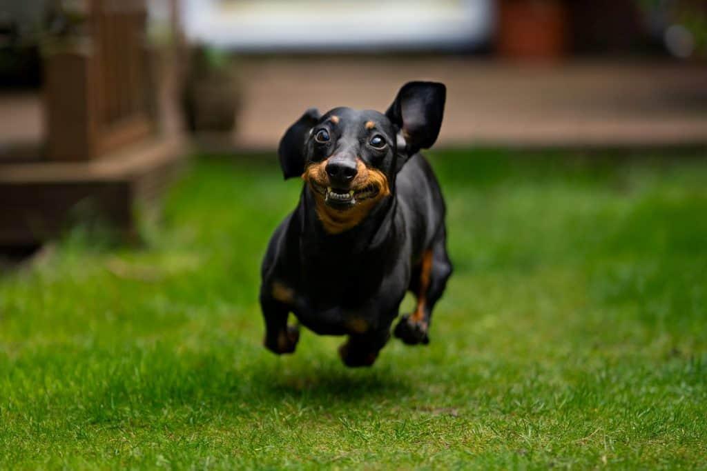 why do dachshunds shake