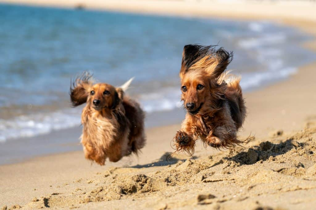 how much exercise do dachshunds need