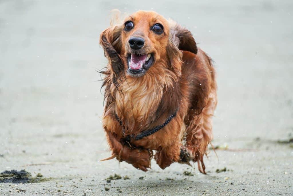 hyperactive dachshund