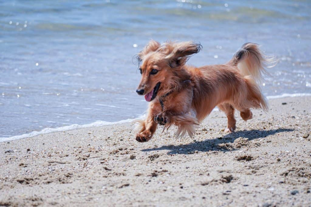 exercises to strengthen a dachshunds back