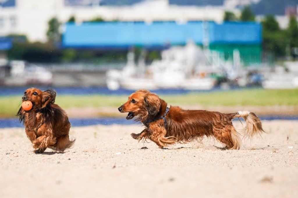 dachshunds running