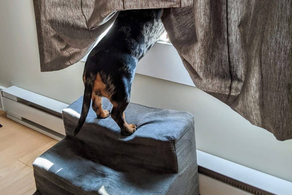 can dachshunds climb stairs