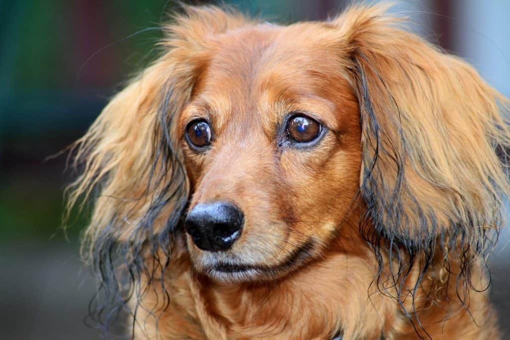 do dachshunds smell