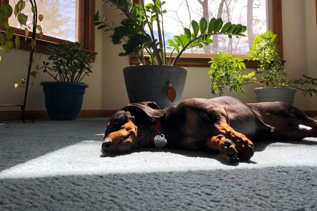 can dachshunds be left alone