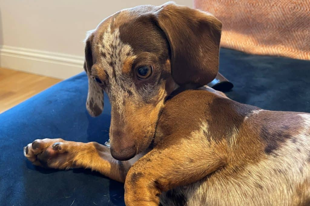 are dachshunds good dogs