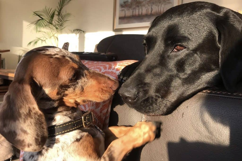 do dachshunds get along with other dogs