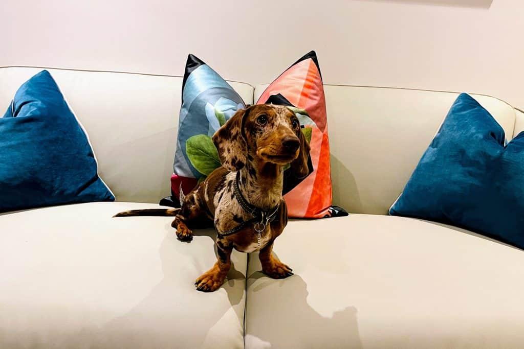 what is a dapple dachshund