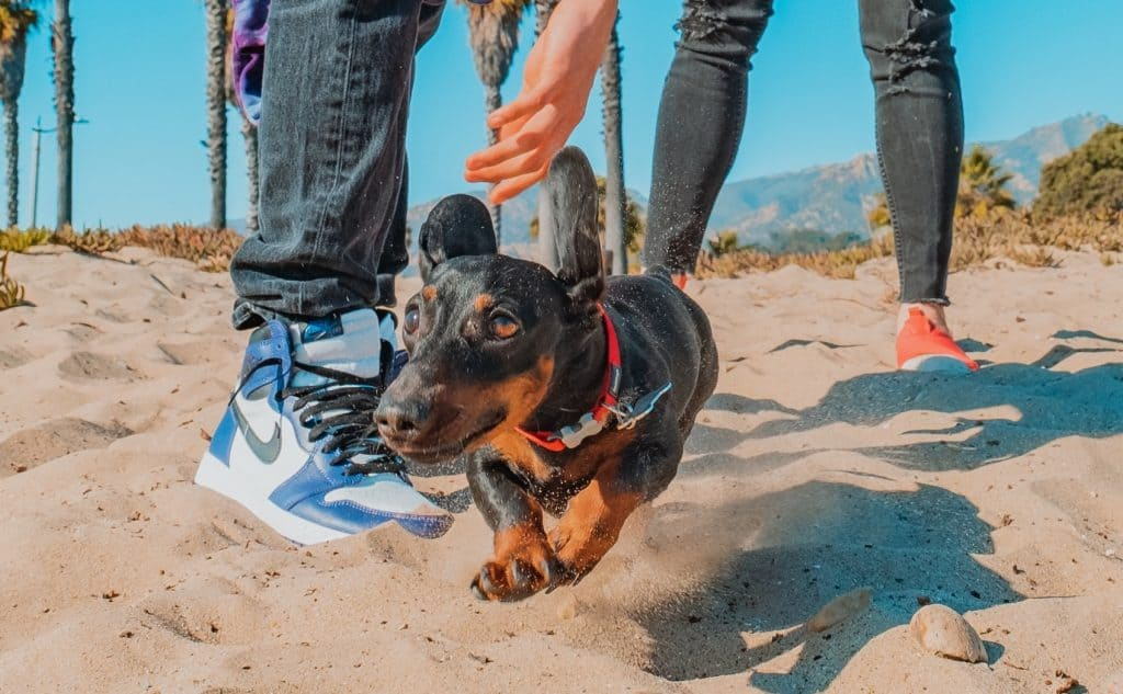 why do dachshunds dig