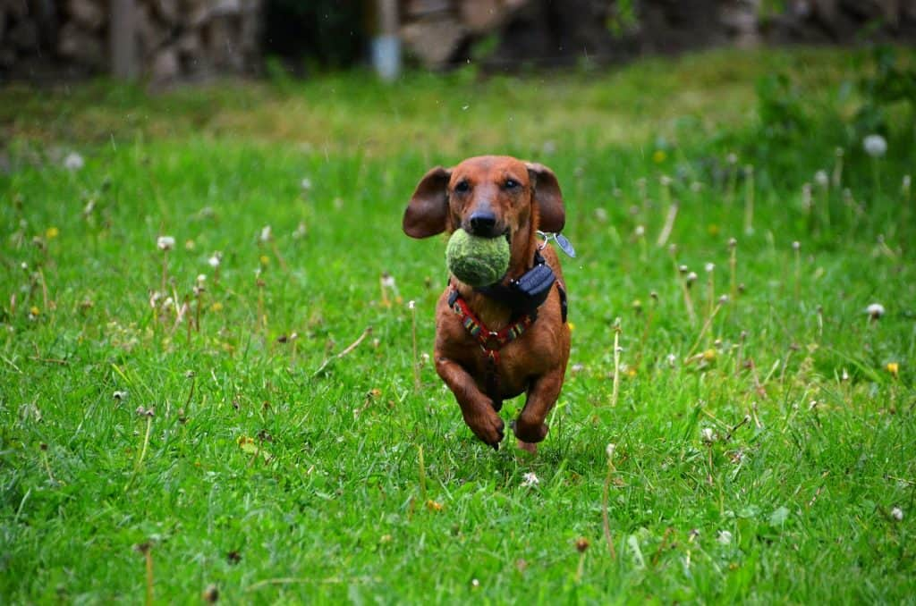 why are dachshunds so stubborn