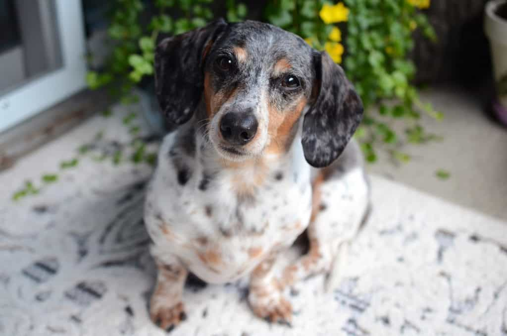 are dachshunds easy to train