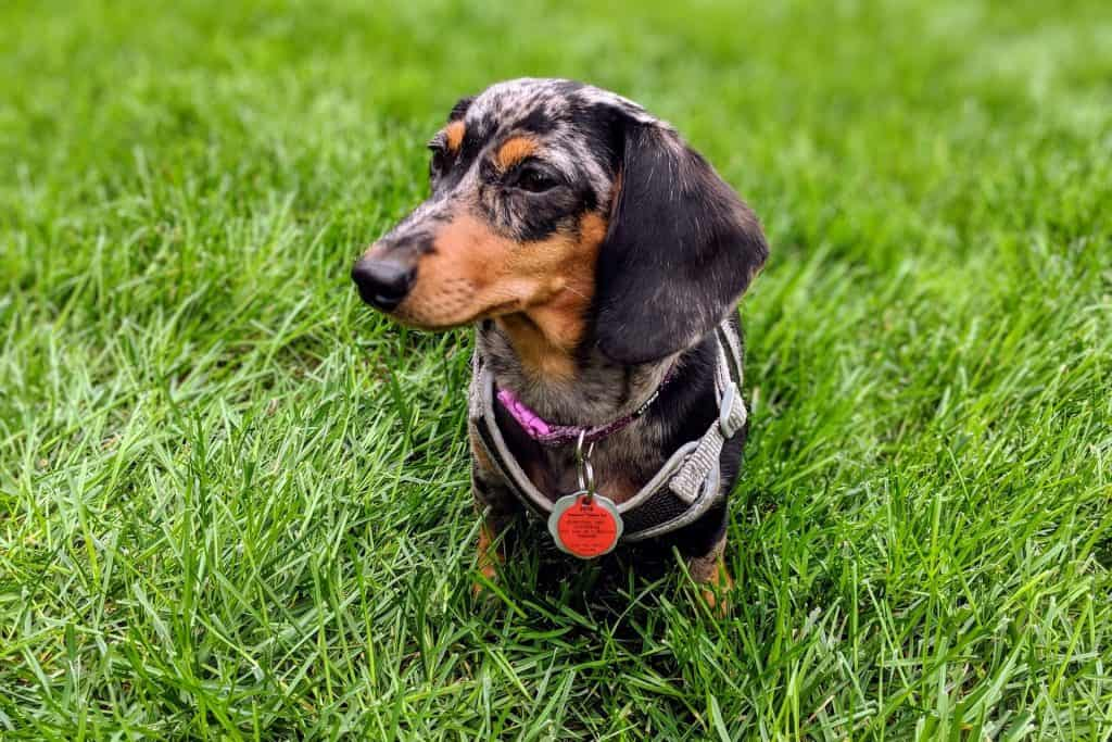 do dachshunds have health problems