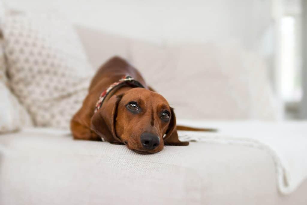 what is a miniature dachshund