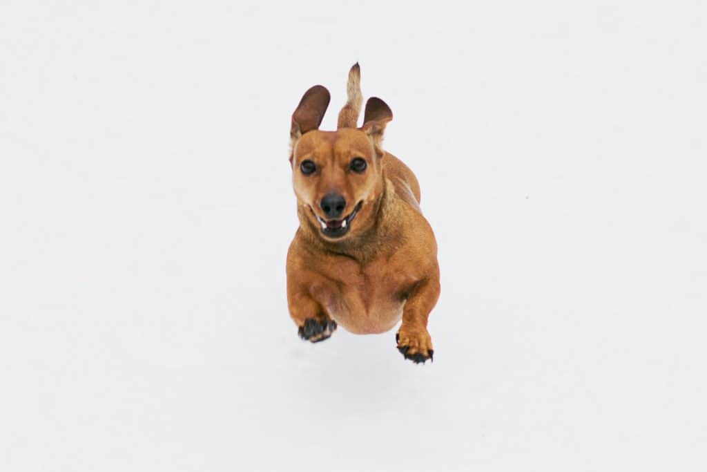 do dachshunds have back problems