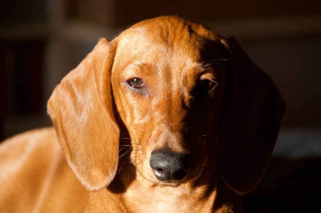 are dachshunds hypoallergenic