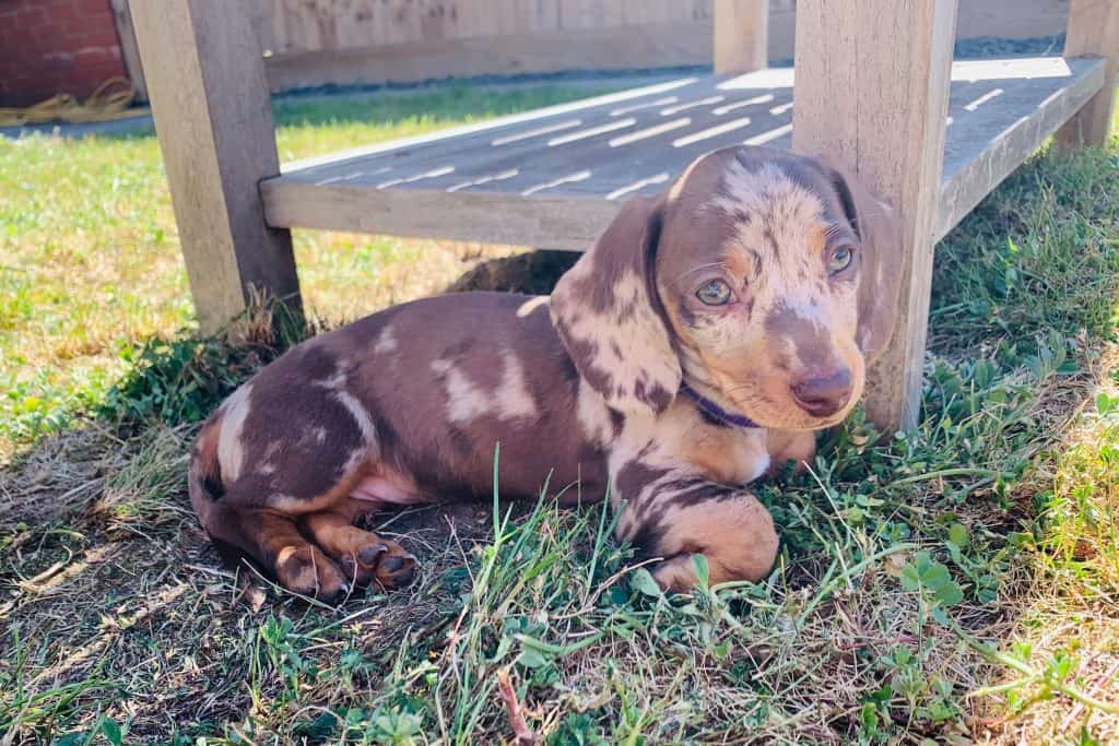 can you breed a miniature dachshund with a standard one