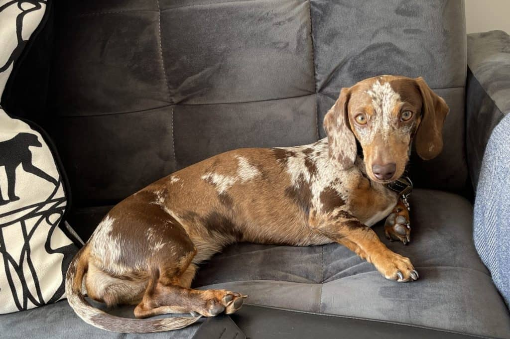 which dachshunds shed the least