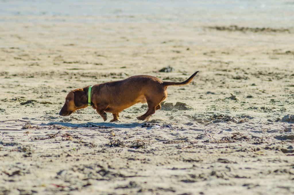 why are dachshunds hard to potty train