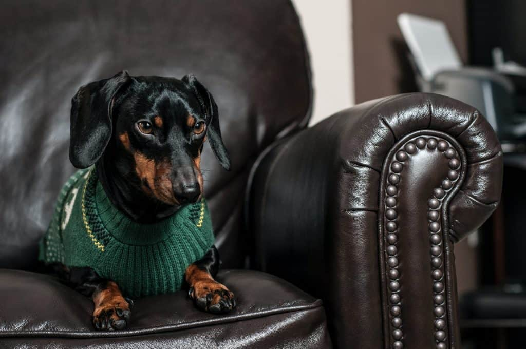 do dachshunds have dewclaws
