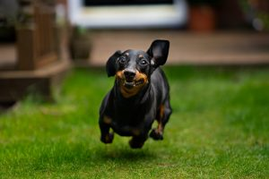 can you let a dachshund of the leash
