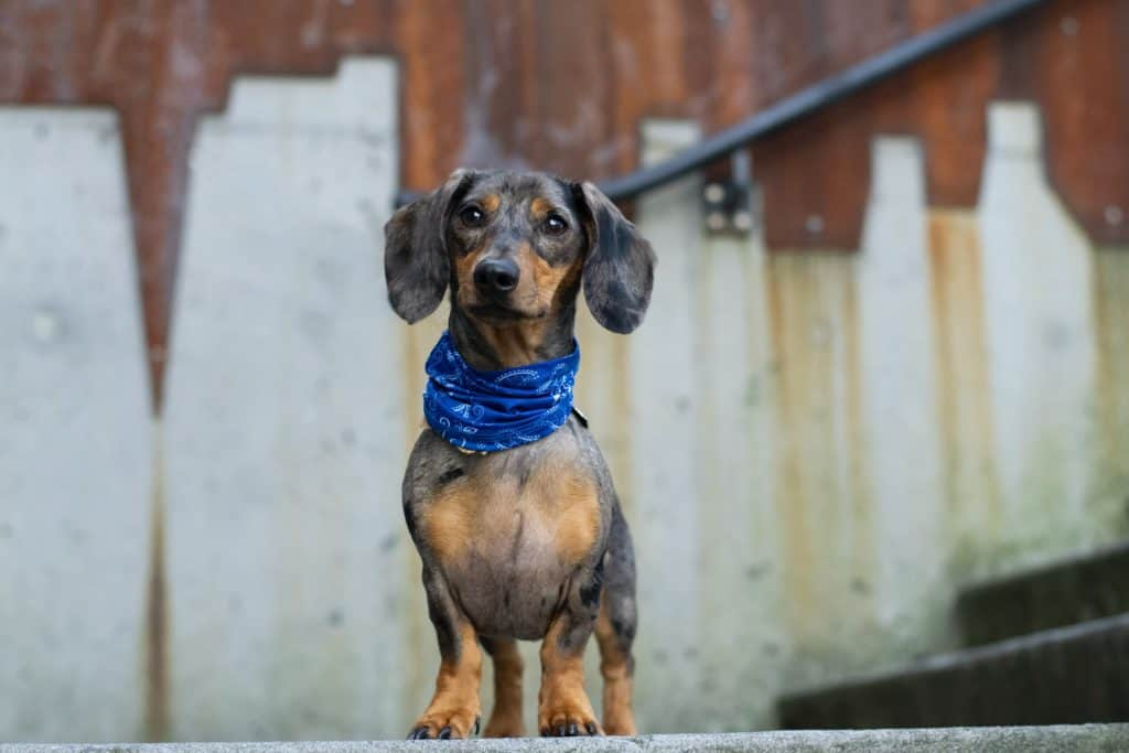 can you breed a piebald and dapple dachshund