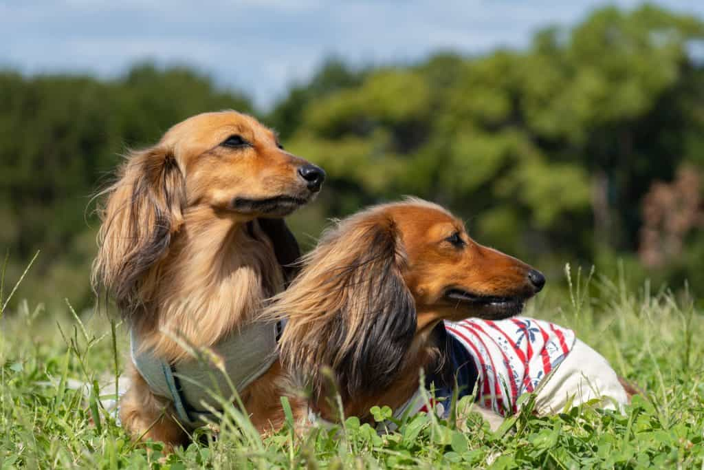 how much do long haired dachshunds cost