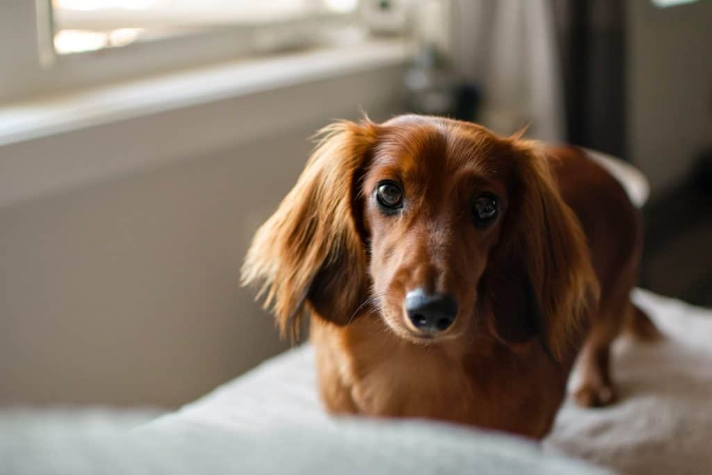 are dachshunds good for apartments