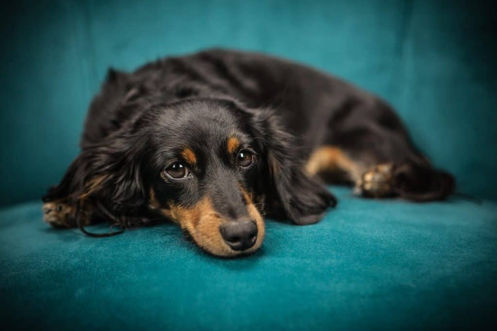 What Is A Long Haired Dachshund
