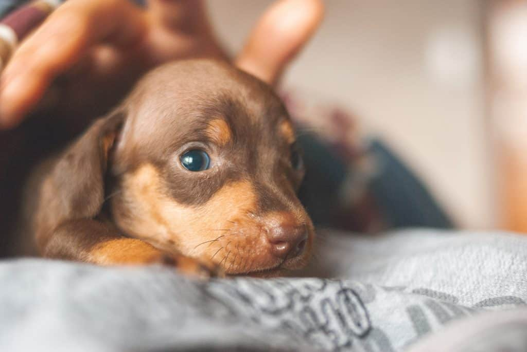what can you breed a dachshund with