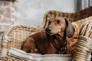 can dachshunds be service dogs