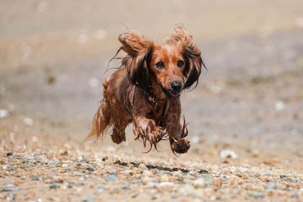 can you run with a dachshund